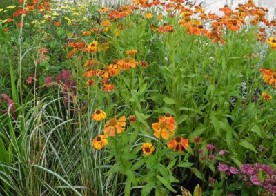 heleniums on terraced planter