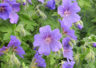 geraniums troon new