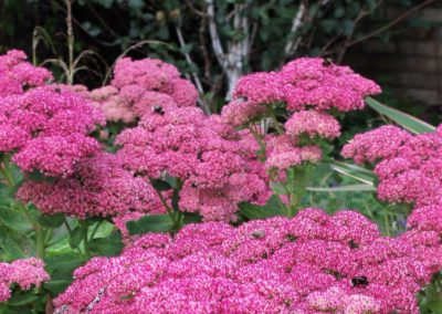 yarrow pink birch trees